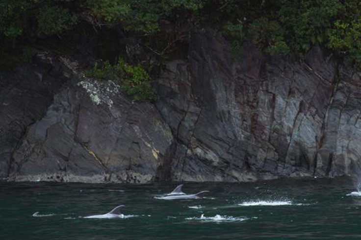 dolphins swimming close to a cliff